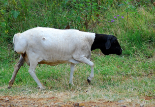 fat tailed sheep