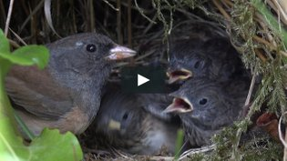 Family Life of the Dark-Eyed Junco