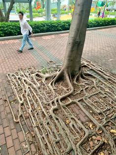 Banyan tree roots in Hong Kong