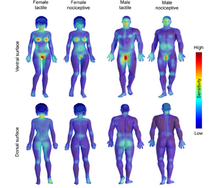 mean-tactile-and-nociceptive-sensitivity-maps-for-males-and-females-the-data-are-shown.png