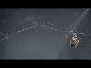 Snippet: This tiny spider grab a bug 50 times its weight, thanks to some fancy string pulling