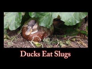 Ducks Eat Slugs