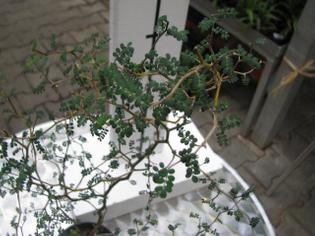 sephora prostrata