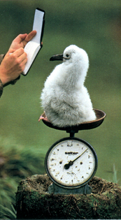 Frans Lanting: A baby albatross is weighed in South Georgia, 1989