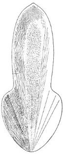 trachyteuthis_hastiformis_fossil.jpg