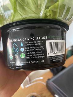 Living lettuce 🥬
