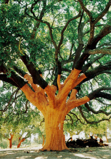Quercus Suber or Cork Oak