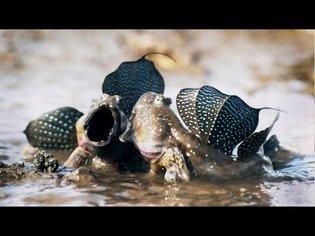 Mudskippers: The Fish That Walk on Land | Life | BBC Earth