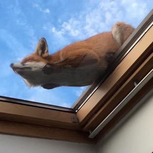 Fox Sleeping on Sunroof