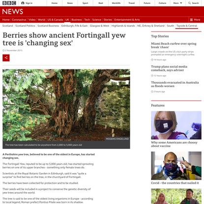 Berries show ancient Fortingall yew tree is 'changing sex'