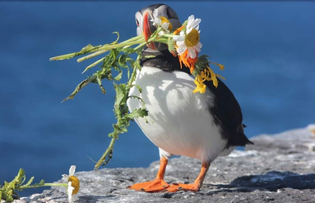 A puffin collecting flowers on Skelling Michael, Ireland