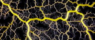 physarum-polycephalumk_lede.jpeg