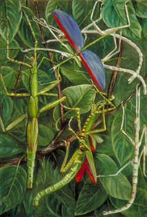 leaf_insects_and_stick_insects_marianne_north.jpg