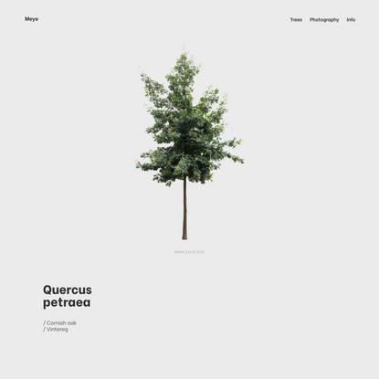 Quercus petraea - Meye