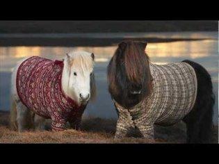 Shetland Ponies in Cardigans - VisitScotland