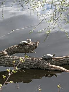 northern-map-turtles-rideau-river-april-13-2021.jpg
