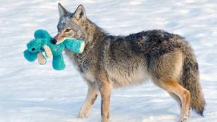 Coyote vs. stuffed animal