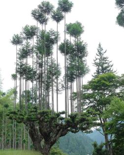 daisugi-3.jpg