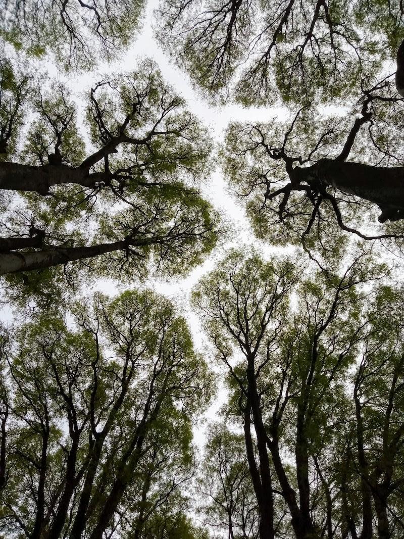 canopy shyness