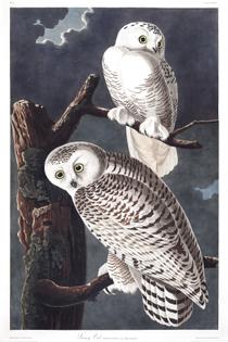 plate-121-snowy-owl.jpg