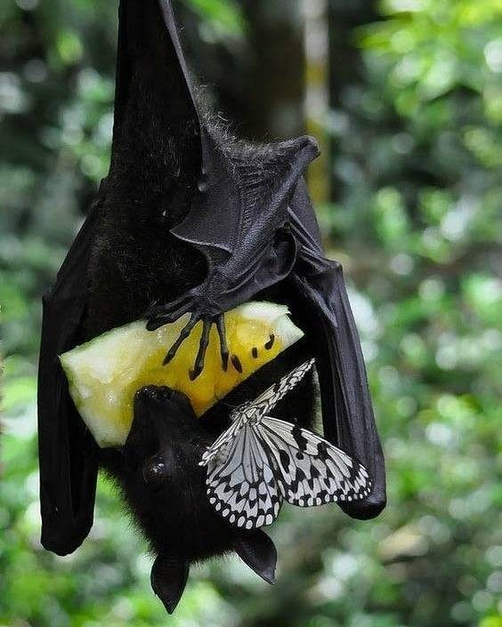 Fruit bat sharing lunch with butterfly