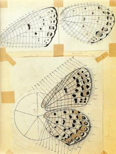 https://www.brainpickings.org/2011/07/01/nabokov-butterflies/