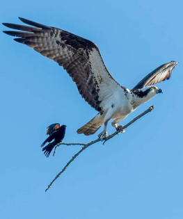 Osprey & Red-Winged Black Bird with a stick.
