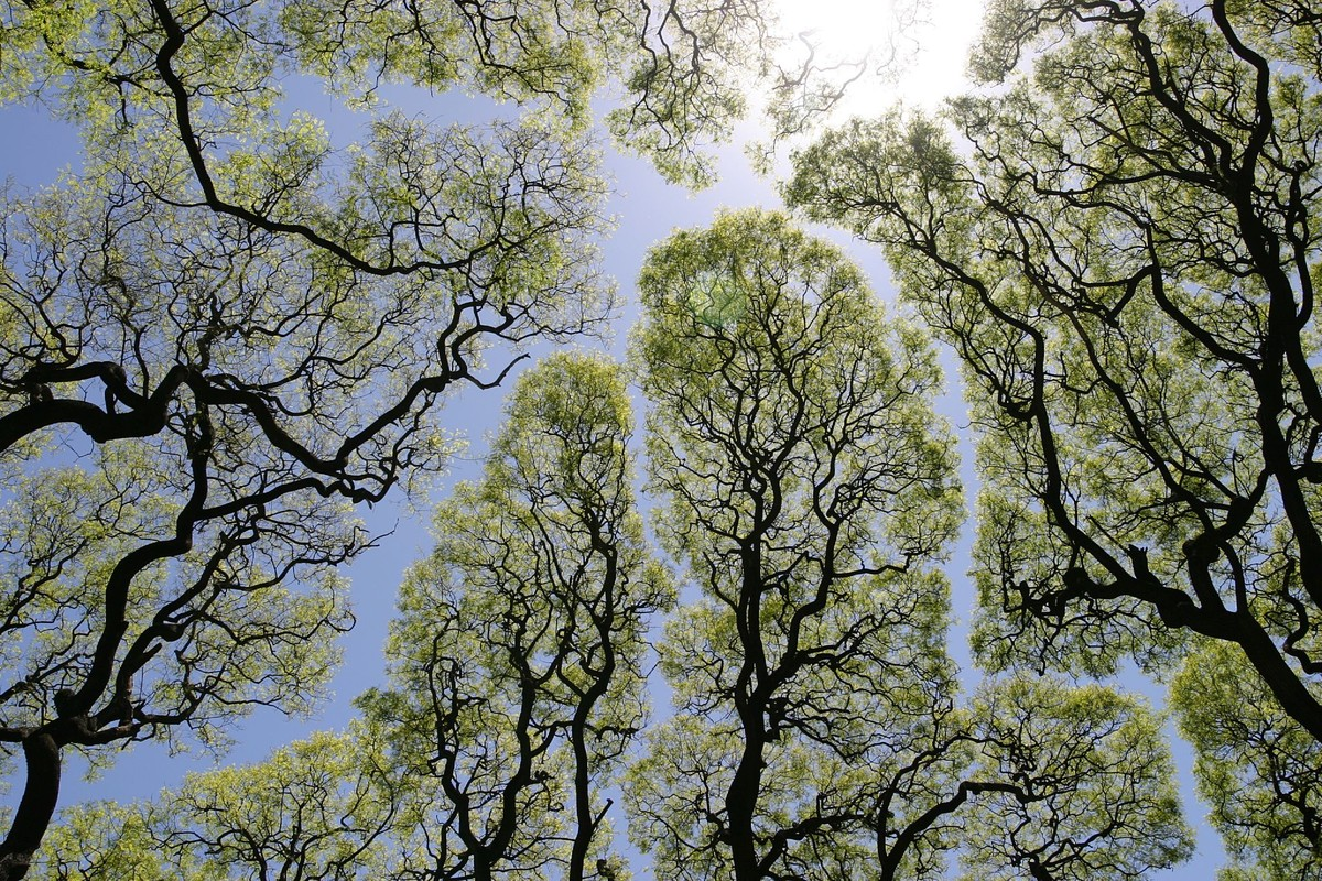 Crown shyness (also canopy disengagement, canopy shyness, or intercrown spacing) is a phenomenon observed in some tree species, in which the crowns of fully stocked trees do not touch each other, forming a canopy with channel-like gaps. The phenomenon is most prevalent among trees of the same species, but also occurs between trees of different species.