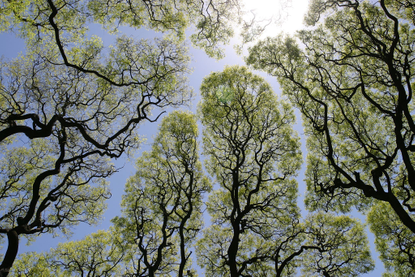 Crown shyness - Wikipedia