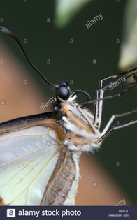 a-close-up-of-the-head-of-a-butterfly-face-on-showing-the-eyes-proboscis-ar4cj1.jpg