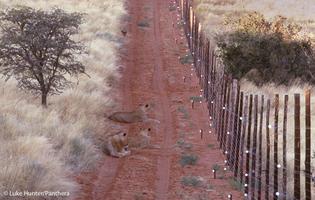 0306.lh-lion-fences31-b.568.jpg