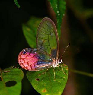 blushing phantom butterfly