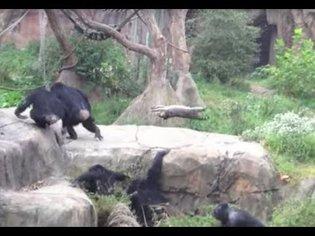 chimps vs. raccoon