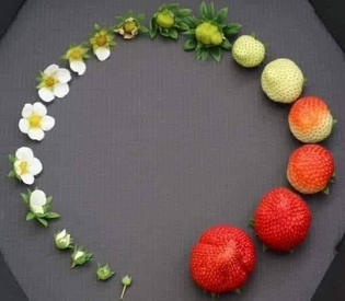 Life cycle of the strawberry