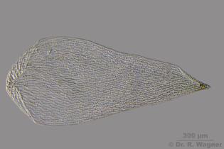 sphagnum_obtusum-astblatt-hf.jpg