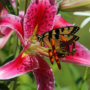 lilium-orientalis-oriental-lily-pink-stargazer-butterfly_2.jpg?quality=80-bg-color=255-255-255-fit=bounds-height=-width=-can...
