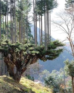 Daisugi