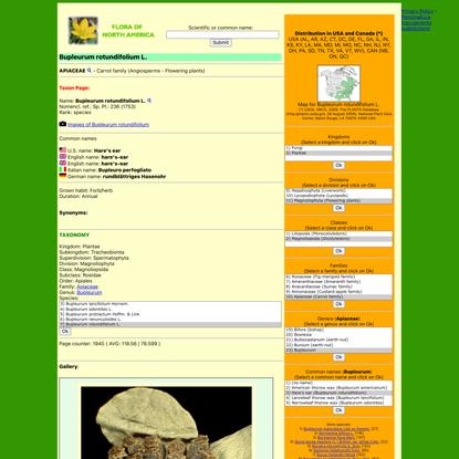 Bupleurum rotundifolium L. - Hare's ear