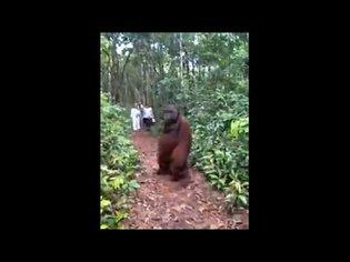 Tourists Come Across A 300 Pounds Adult Male Orangutan, And He Peacefully Walks Away