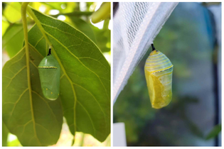 move-monarch-chrysalis-location.jpeg