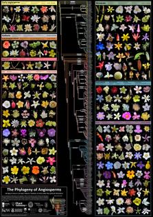 Filogenia de los principales grupos de angiospermas (plantas con flores), y éstos ilustrados con imágenes de flores de 269 familias diferentes.