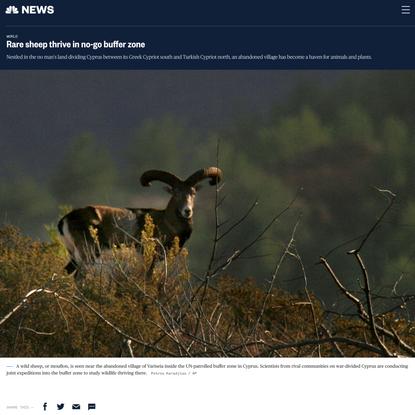 Rare sheep thrive in no-go buffer zone