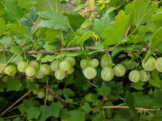 gooseberry-plant-610-tp.jpg