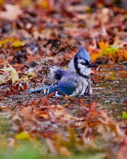 bluejay-birdbath.jpg