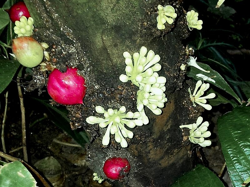 800px-thymelaeaceae_phaleria_capitata_1.jpg