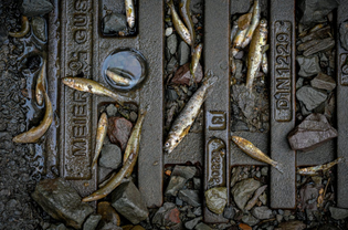Fish on a blocked drain in Dahl