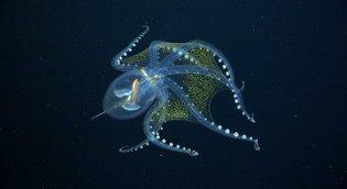 Glass Octopus Encounter / Schmidt Ocean Institute