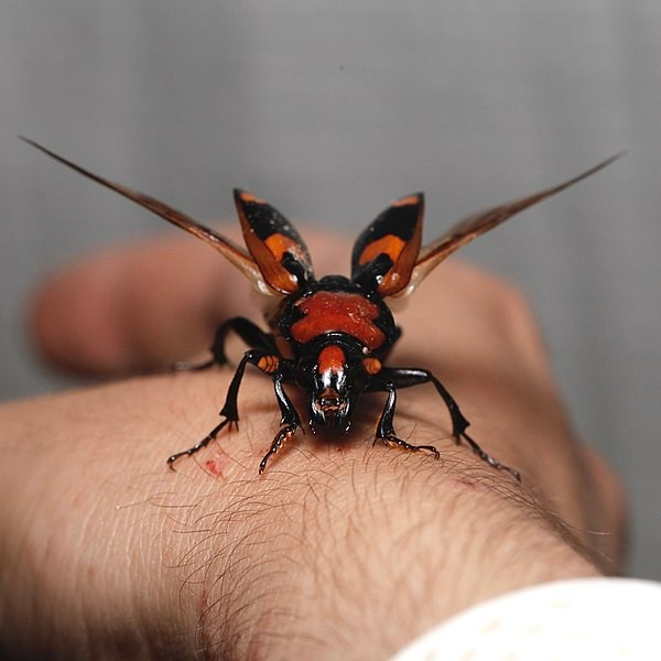 600px-nicrophorus_americanus-_american_burying_beetle_-female-_-_taking_flight-_frontal_view.jpg