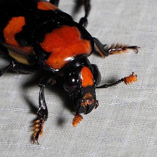 600px-nicrophorus_americanus-_american_burying_beetle_-female-_-_frontal_view.jpg