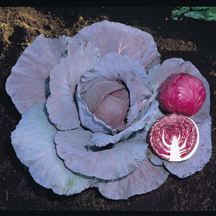red rookie | novelty cabbage